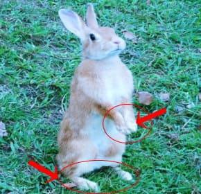 ウサギの手足