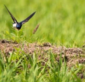 泥や枯れ草を集めるツバメ5