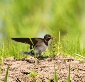 泥や枯れ草を集めるツバメ1