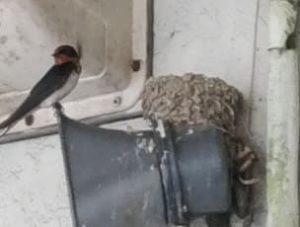 ツバメの巣4