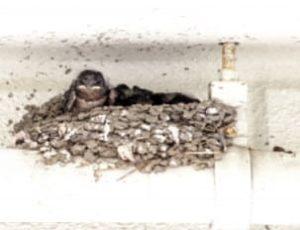 ツバメの巣11