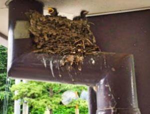 ツバメの巣7