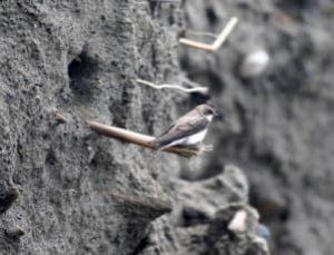 ショウドウツバメの巣