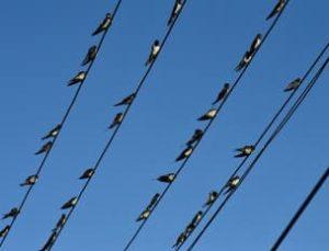電線に止まるツバメの大群