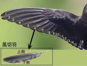 風切羽の説明画像