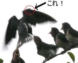 小翼羽の画像