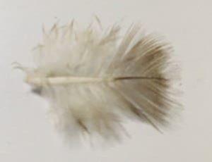ツバメの綿羽