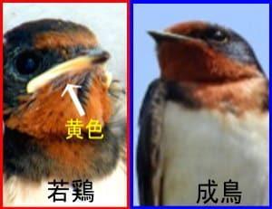 若鶏と成鳥の見分け方