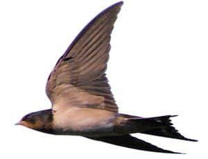 羽根を広げて飛ぶツバメ2