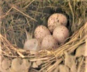 ツバメの卵3
