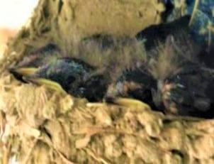 ツバメの子育て7月10日