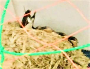 ツバメの子育て7月12日