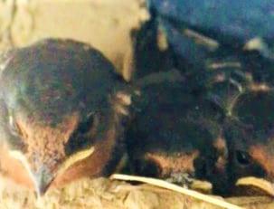 ツバメの子育て7月13日⑥