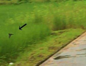 田んぼの上で飛ぶツバメ①