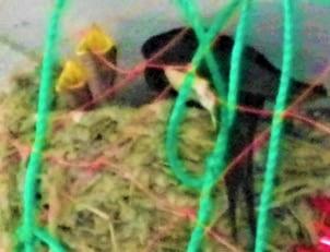 ツバメの子育て7月2日