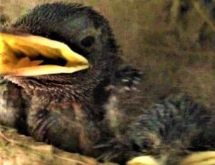 ツバメの子育て7月6日